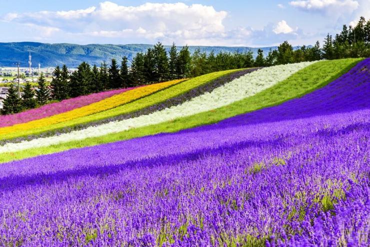 Sapporo-Tomita-Lavender